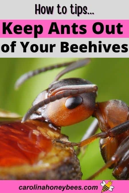 Ant eating honey keep ants out of beehives image.