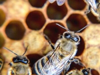 picture of bees on comb involved in honey bee dance communication