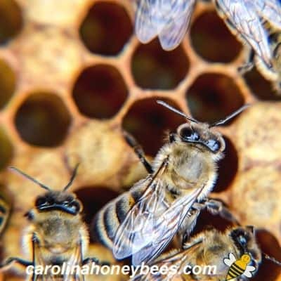 Honey Bee Dance Language Explained