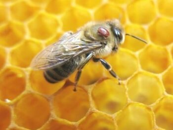 picture of adult honey bee with varroa mite on thorax