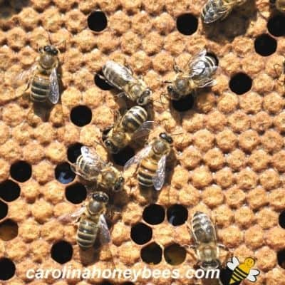 Image of capped honey bee brood for cell builder.