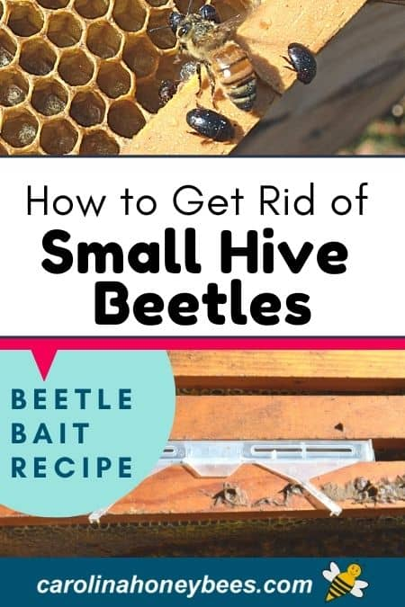 picture of small hive beetles in hive and beetle trap
