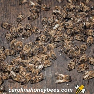 picture of dead bees on the bottom board in a hive