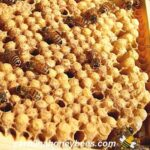 picture of drone brood in beehive