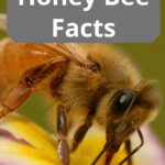 picture of honey bee closeup honey bee facts