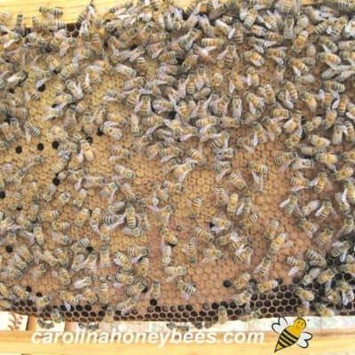 image of worker brood pattern in beehive