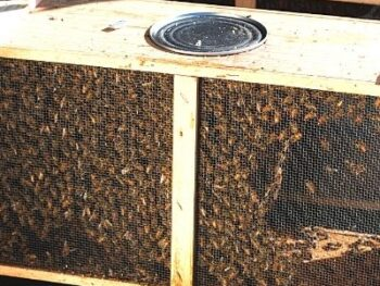 picture of a full package of honey bees ready to install