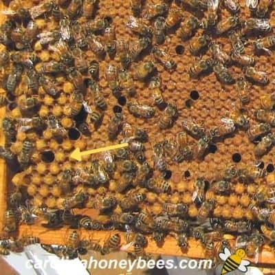 Bee brood on a hive frame with drone brood on the edges image.