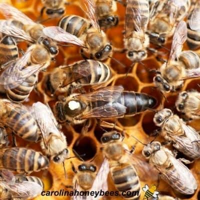 Large queen bee in brood nest of a hive image.