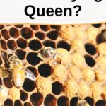 picture of brood from drone laying queen in hive