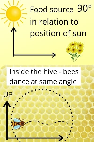 diagram of how bees communicate using dances