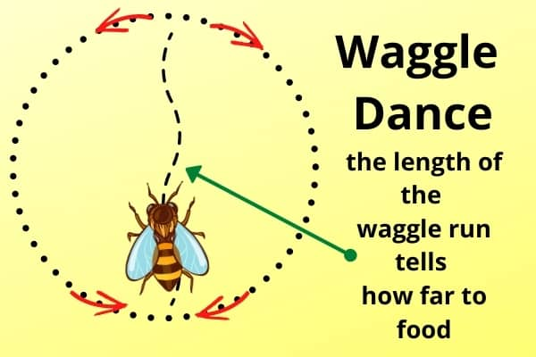 diagram of the honey bee waggle dance