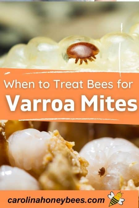 picture of varroa mites in beehive when to treat for varroa