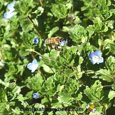 Honey bee foraging on blue flowers of speedwell plant image.