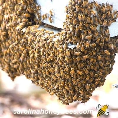 Honey bee bearding on the front of a hive image.