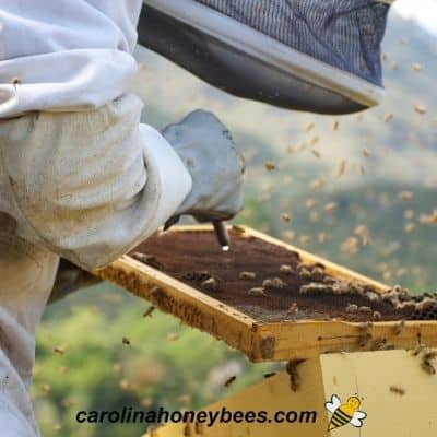 Beekeeper closely inspecting a frame of brood for American foulbrood disease image.