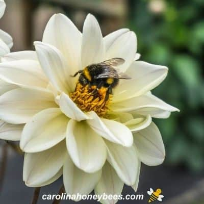 Bumble bee foraging on white flower image.