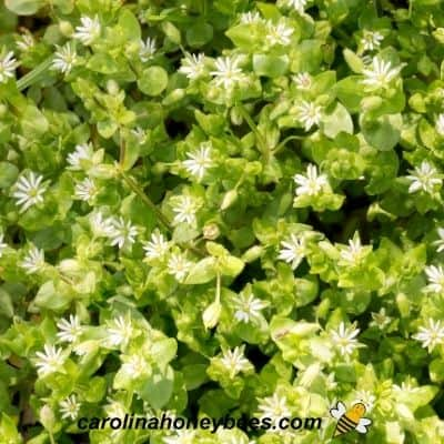 White blooms of chick weed plant in garden image.