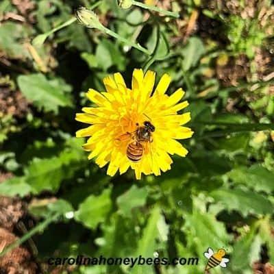Dandelion flowers in bloom with honey bee image.