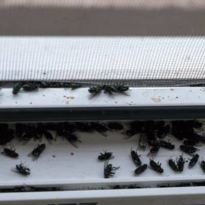 Dead honey bees at hive entrance killed by mosquito spraying image.
