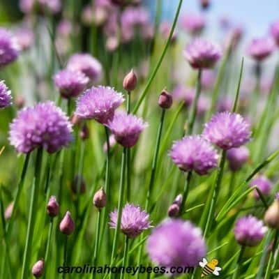 Flowering chives planted for bees in the garden image.