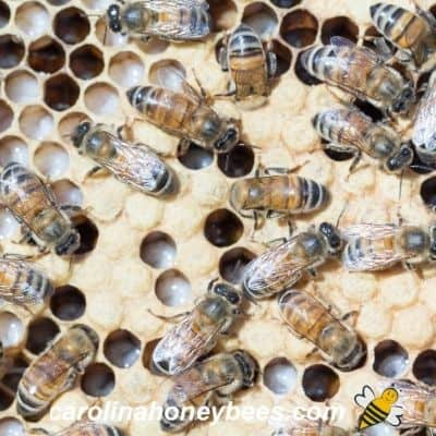 Honey bees and bee brood on comb inside a new hive image.