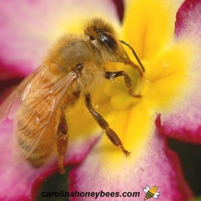Honey bee foraging on a flower for plant nectar image.