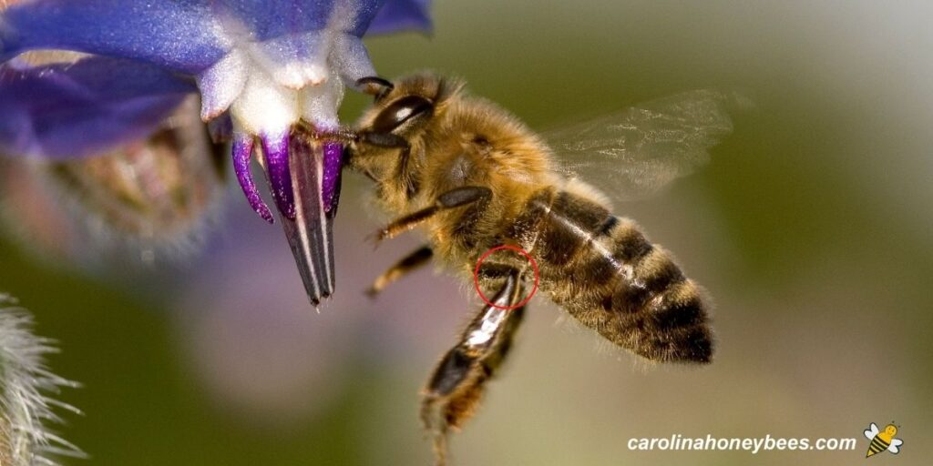 Honey bee with leg and knees extended foraging image.