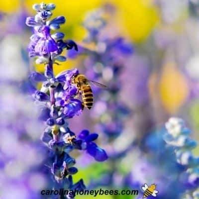 Purple blooming lavender flower with honey bee image.