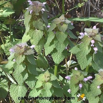 Several purple deadnettle weeds in bloom image.