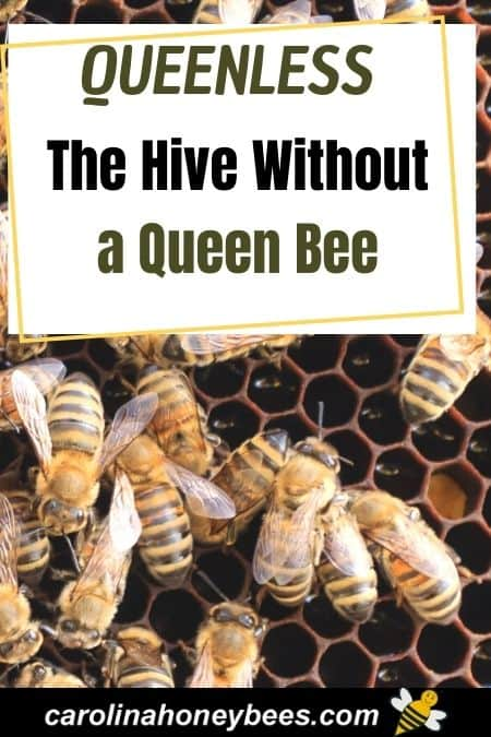 Honey bees in a colony with no queen bee a queenless hive image.