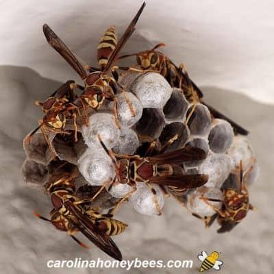Wasps gathered on a wasp nest image.