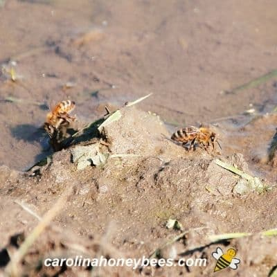 Honey bees collecting mineral rich water from mud image.
