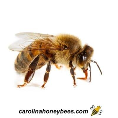 Close up of a honey bee with proboscis extended image.