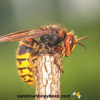 Forager European hornet in field image.