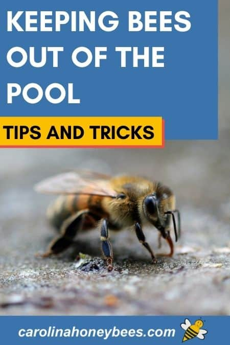 Honey bee drinking water keeping bees out of the pool tips and tricks image.