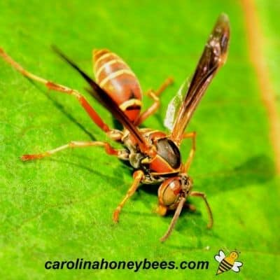 Adult paper wasp on a green leaf image.