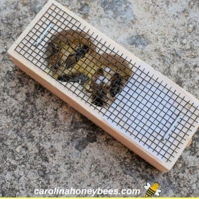 New queen bee and attendants in a queen cage image.