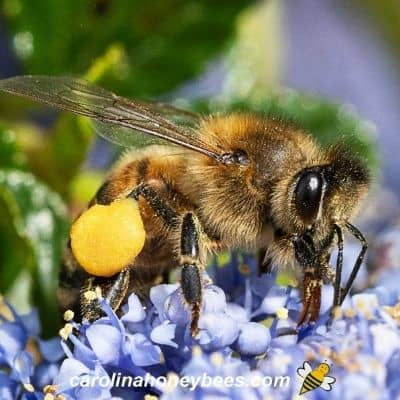 Worker honey bees with full pollen baskets on her legs image.