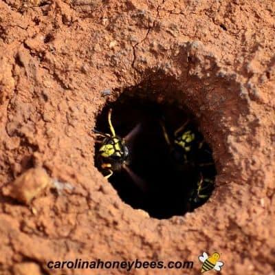 Yellow jacket wasp guarding entrance to underground nest image.