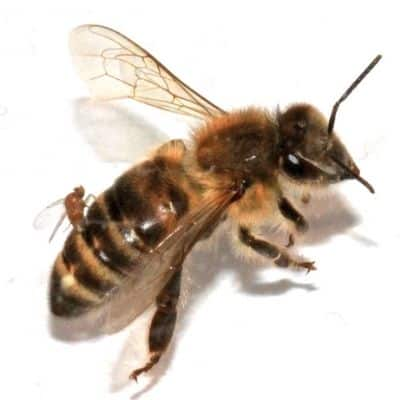 Honey bees with parasitic zombie fly image.