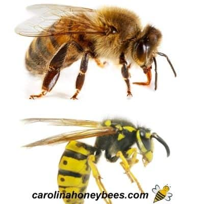 Honey bee with blocky body shape and wasp with thin waist image.