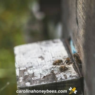 Diseased bee colony population dwindles with few returning foragers image.