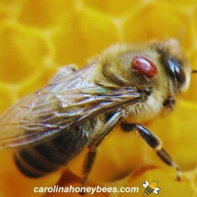 Formic Acid Treatment for Bees-How to Use It