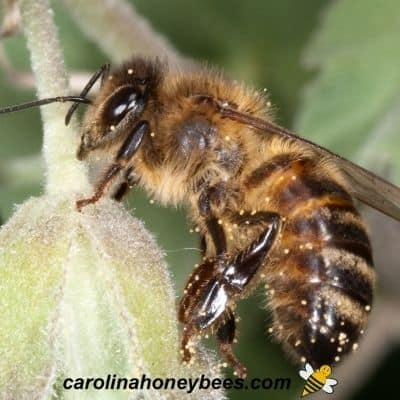 Fuzzy looking honey bee covered with fine hair and pollen image.