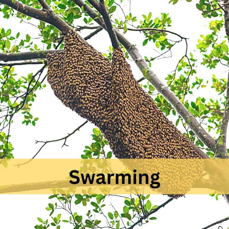 Honey Bee Swarming – Why Bees Swarm