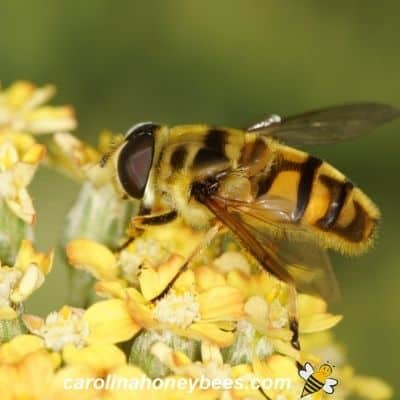 Hover fly on a yellow flower image.