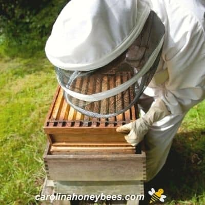 Beekeeper managing beehive for health and productivity to lessen disease image.