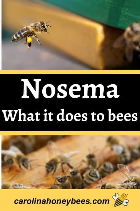 Honey bees flying in hive. Nosema what it does to bees image.