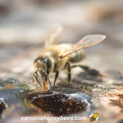 Honey bee drinking water from possible nosema contaminated source image.